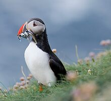 Atlantic puffin (Fratercula arctica) by ChrisMillsPhoto