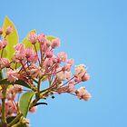 mountain laurel by Chaney Swiney