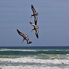 Three Pelicans diving for the same fish by KSKphotography
