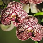 Orchid Twins ! by jozi1