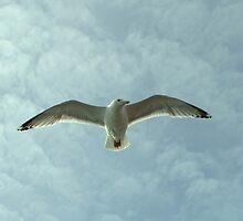 Seagull , Flying High by printerbill
