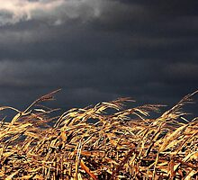 Wind in the Cornstalks by AngieDavies