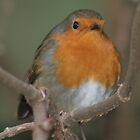 Merry Christmas - Robin 02 by Peter Barrett