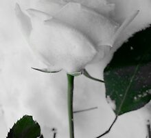 Winters Rose by Travis Paul