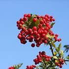 Red Rowan Berries against a Blue Autumn Sky by SunriseRose
