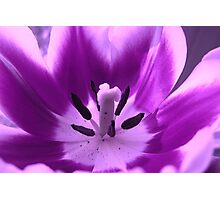 Violet-colored tulip Photographic Print