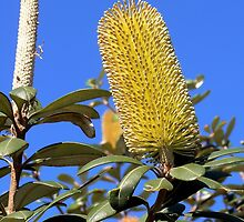 Coastal Banksia by Graeme  Hyde