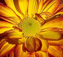 Chrysanthemum by Christina  Ochsner