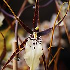 Spider Orchid by Linda  Makiej