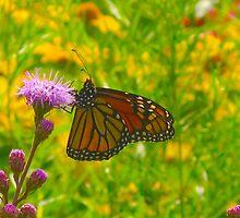 Beautiful butterflies by MarianBendeth