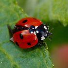 Ladybird/Ladybug by AnnDixon