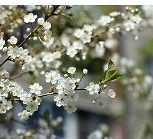 Spring cherry blossoms by mrivserg