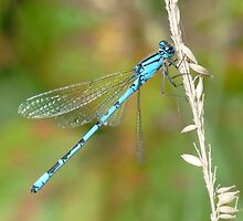 Damsel Fly and Grass by ChameleonImages