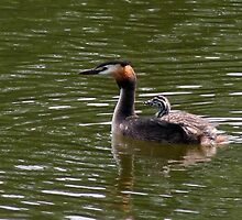 Great Crested Grebe and Fledgling by ChameleonImages