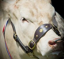 Prize Cow at a agriculture show by chris2766