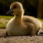 Duckling by WillBov
