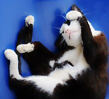 portrait of a cat  by marxbrothers