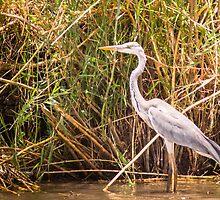 Grey Heron by Tim Cowley