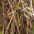 Malachite Kingfisher by Tim Cowley