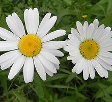 Daisy, Oh Daisy by Martha Medford