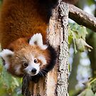 Red Panda 2 by Ellesscee