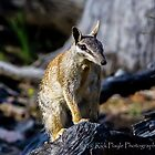 Dryandra Numbat by Rick Playle