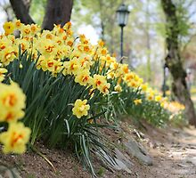 Yellow Daffodils on a Garden Pathway by SuzannemorriS