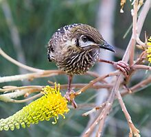 Wattle Bird and Yellow Grevillea by mncphotography