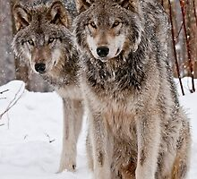 Timber Wolves in Winter  by Michael Cummings
