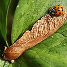 Ladybird on fallen Sycamore key by Rivendell7