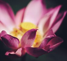 Lotus by Mary Parker