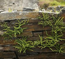 Spleenwort Maidenhair fern on wall at Cashelnagor by George Row