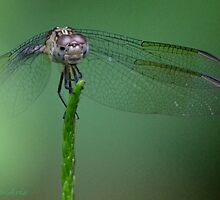 Dragonfly by insight