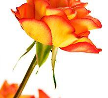 Autumn Splendor Rose by MMPhotographyUK