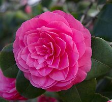 Pink Camellia Flower by maddyh100