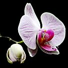 Orchid by AnnDixon
