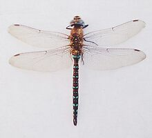 Dragonfly by Cassia