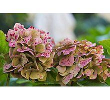 hydrangea in garden Photographic Print