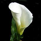 Arum lilly by Joyce Knorz
