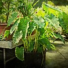 Caladium - Ott's Greenhouse - Schwenksville - Pennsylvania - USA by MotherNature2