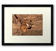 Frill-necked Lizard, Northern Territory, Australia Framed Print