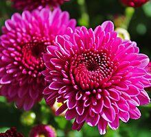 Fuchsia Mums by Gilda Axelrod