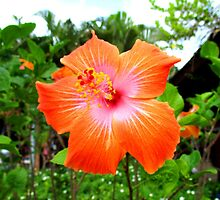Caribbean Hibiscus by Julia Findling