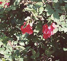 Barcelona // Roses on La Rambla by vagabonnde