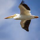 Flight Of The American White Pelican by Thomas Young