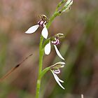 Bunny Orchids at Meelup 2014 by Leonie Mac Lean