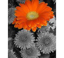 Gerber Daisy  by Cody  VanDyke