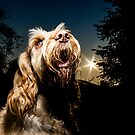 Italian Spinone Sunset ~ Woody by heidiannemorris