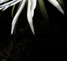 Cactaceae Bloom Sticker