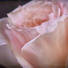 """ Pink Chiffon Rose "" by Malcolm Heberle"